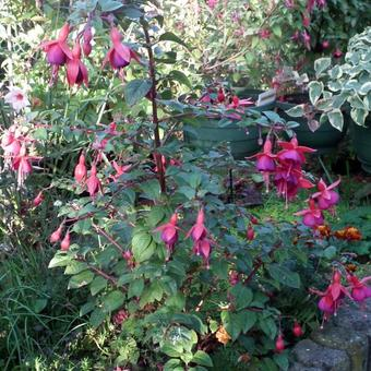 Fuchsia 'Empress of Prussia'