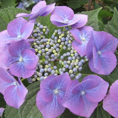 Hydrangea macrophylla 'Mariesii Grandiflora' -