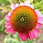 Echinacea purpurea 'Rozenrad' - Rode zonnehoed - Echinacea purpurea 'Rozenrad'