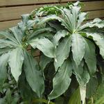 Arisaema consanguineum - Arisaema consanguineum - Drakenvuurkorf