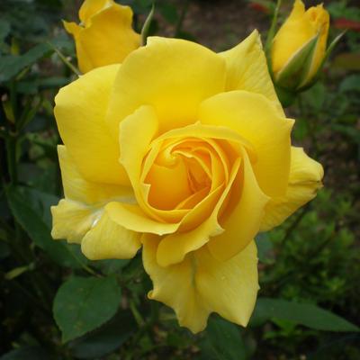 Rosa 'Mrs. Pierre S. du Pont, Cl.'  -