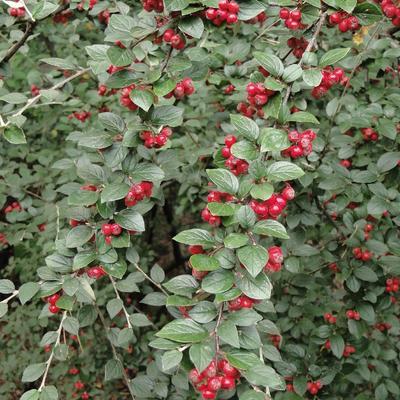 Cotoneaster dielsianus -