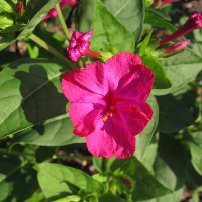 Incarvillea delavayi 'Rosa' -