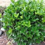 Euonymus japonicus 'Microphyllus' - Japanse kardinaalshoed, kardinaalsmuts , - Euonymus japonicus 'Microphyllus'