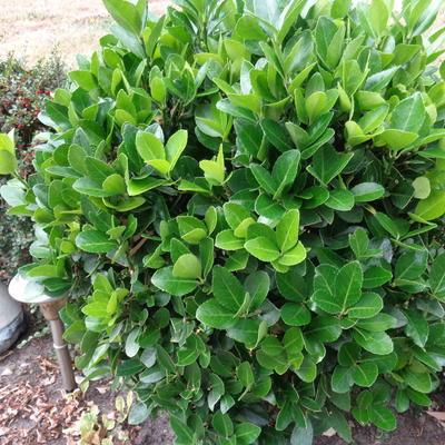 Euonymus japonicus 'Microphyllus' -