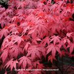 Japanse esdoorn - Acer palmatum 'Atropurpureum'