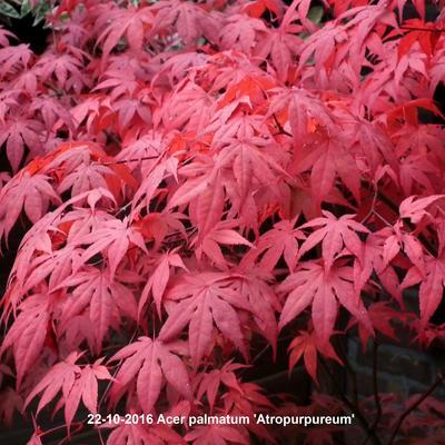 Acer palmatum 'Atropurpureum' - Japanse esdoorn - Acer palmatum 'Atropurpureum'