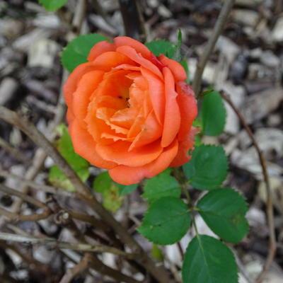Rosa 'Orange Juwel' -