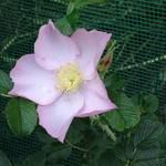 Rosa 'Dagmar Hastrup' - Roos