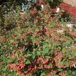 Cotoneaster lacteus - Grootbladige glansmispel - Cotoneaster lacteus