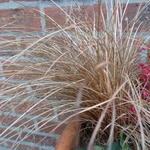 Carex comans 'Bronco' - Zegge