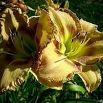 Hemerocallis (gele varieteiten) -