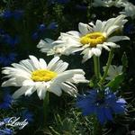 Leucanthemum x superbum 'Snow Lady' - Margriet - Leucanthemum x superbum 'Snow Lady'