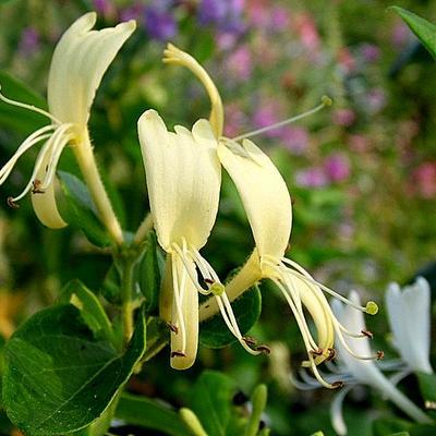 Lonicera japonica 'Hall's Prolific' -