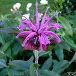 Bergamotplant - Monarda 'Violet Queen'