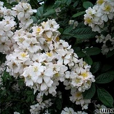 Rosa wichuraiana -