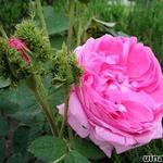 Rosa 'Crested Moss'  -