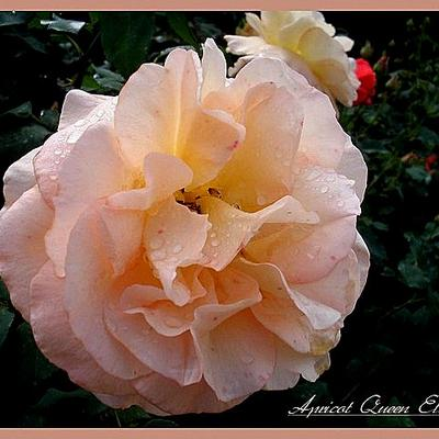 Rosa 'Apricot Queen Elisabeth' -