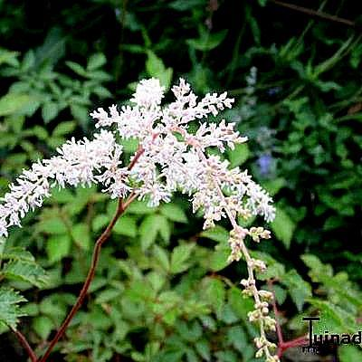 Astilbe thunbergii 'Betsy Cuperus' -