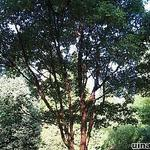 Acer griseum - Papieresdoorn - Acer griseum