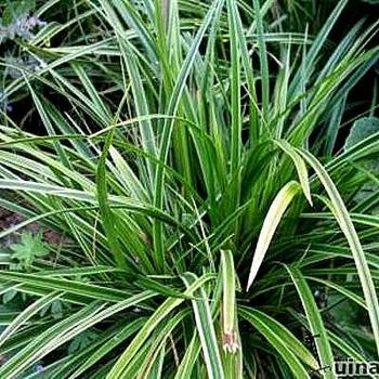 zegge carex morrowii 39 variegata 39 planten online kopen. Black Bedroom Furniture Sets. Home Design Ideas