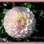 Dahlia 'Gitts Perfection' - Dahlia
