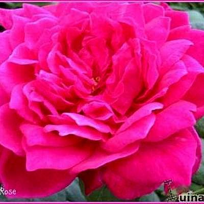 Rosa 'Sophy's Rose' -