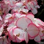Hydrangea macrophylla 'Love You Kiss - Hortensia