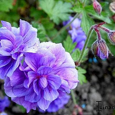 Geranium himalayense 'Plenum' - Ooievaarsbek - Geranium himalayense 'Plenum'