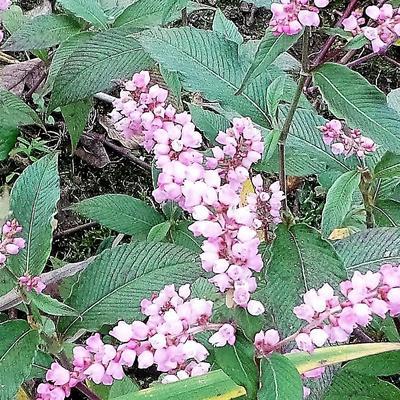 Persicaria campanulata 'Rosenrot' -