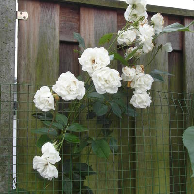 Rosa 'Colonial White' - Roos, Klimroos
