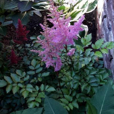 Astilbe  chinensis 'Heart and Soul' -
