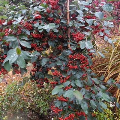 Cotoneaster glaucophyllus -