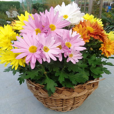 Chrysanthemum multiflora 'ROZANNE' -