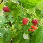 Rubus idaeus ´Zefa Herbsternte´ - Rubus idaeus ´Zefa Herbsternte´ - Herfstframboos