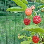Rubus idaeus 'Aroma Queen' - Rubus idaeus 'Aroma Queen' - Herfstframboos