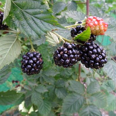 Rubus fruticosus 'Navaho' -