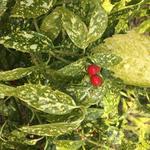 Aucuba japonica - Broodboom - Aucuba japonica
