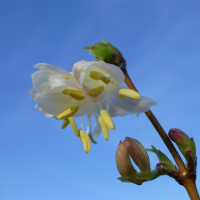 Lonicera x purpusii 'Winter Beauty' -