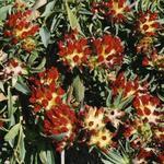 Anthyllis vulneraria 'Coccinea' - Anthyllis vulneraria 'Coccinea' - Wondklaver