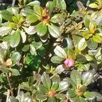 Rhododendron  'Anne Frank' - Azalea, tuinazalea - Rhododendron  'Anne Frank'