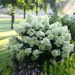Hortensia - Hydrangea paniculata 'Bobo'