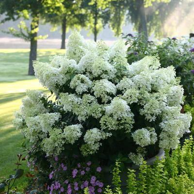 Hydrangea paniculata 'Bobo' -