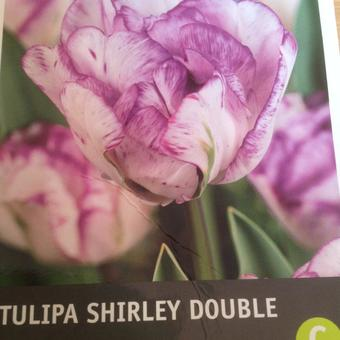 Tulipa 'Shirley Double'