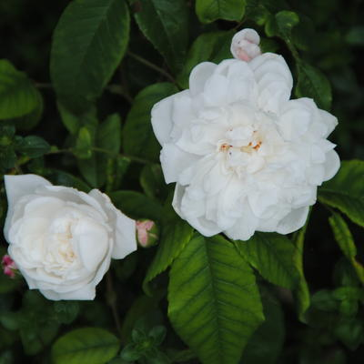 Rosa 'Aimée Vibert  -