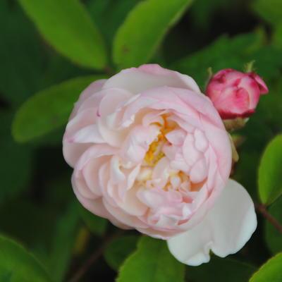 Rosa 'Alfred de Dalmas' -