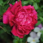 Rosa 'Slater's Crimson China'  - Roos