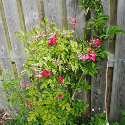Rosa 'Turner's Crimson Rambler'  -