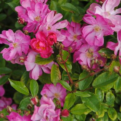 Rosa 'Yesterday'  -