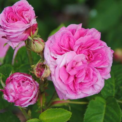 Rosa 'Yolande d'Aragon' -